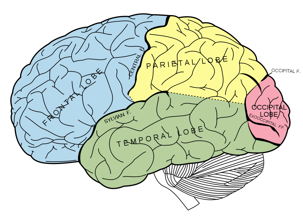 four lobes of the brain