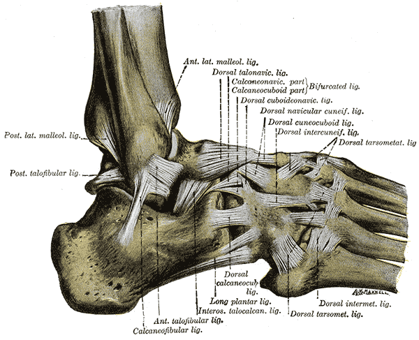 lateral_ankle_ligaments
