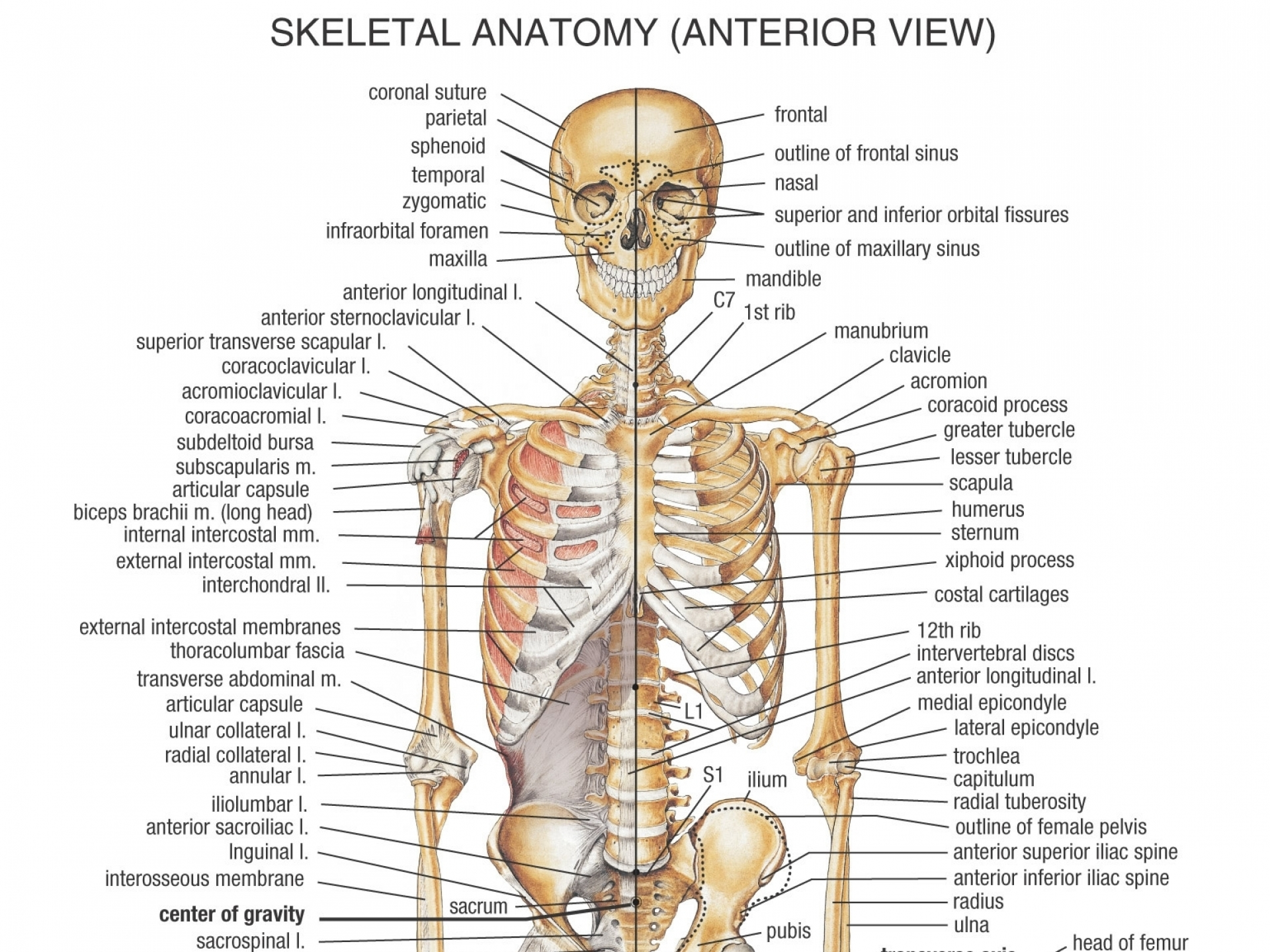 human bone anatomy