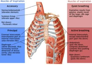 Muscles of Respiration