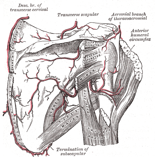 Gray's Shoulder Tendons